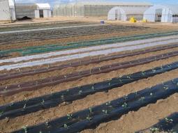 Efecto de los acolchados biodegradables en un cultivo de pimiento para  consumo en fresco en condiciones de agricultura ecológica