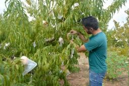 Exitosa recolección de melocotón embolsado con bolsas biodegradables