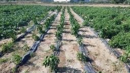 Pimiento cosechado
